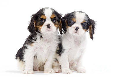 Photograph - Cavalier King Charles Spaniel Pups by Jean-Michel Labat