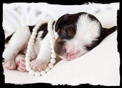 Cavalier Puppy Original