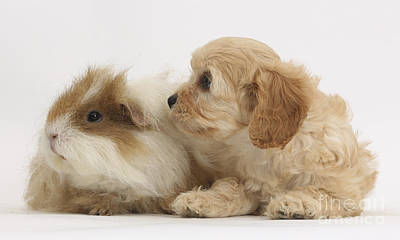 House Pet Photograph - Cavapoo Pup And Guinea Pig by Mark Taylor