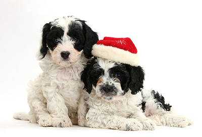 Cavapoo Puppies Wearing Christmas Hats Print by Mark Taylor