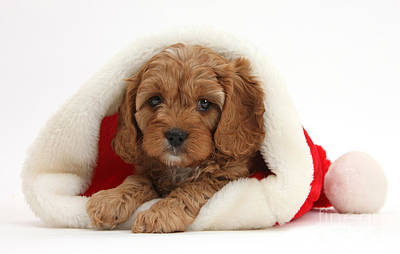 Cavapoo Puppy In A Christmas Hat Art Print by Mark Taylor