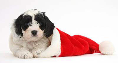 Cavapoo Puppy Wearing Christmas Hat Print by Mark Taylor