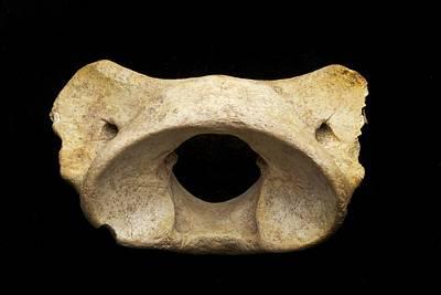 Cave Bear Photograph - Cave Bear Vertebra by Science Photo Library