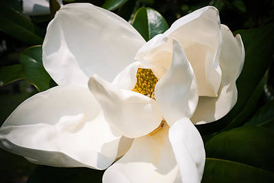 Photograph - Cave Hill Magnolia by Wayne Stacy