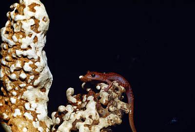 Salamanders Photograph - Cave Salamander by Charles E. Mohr