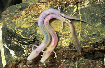 Salamanders Wall Art - Photograph - Cave Salamanders by Philippe Psaila/science Photo Library
