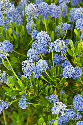 Ceanothus Impressus Santa Barbara Flowering Bush Art Print
