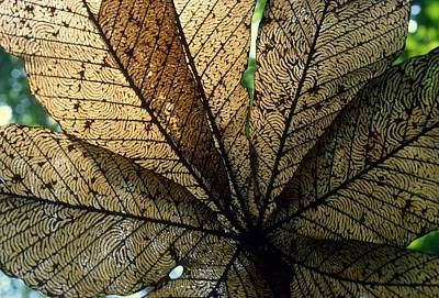 Photograph - Cecropia Leaf Leaf-miner Tunnels by David Olson