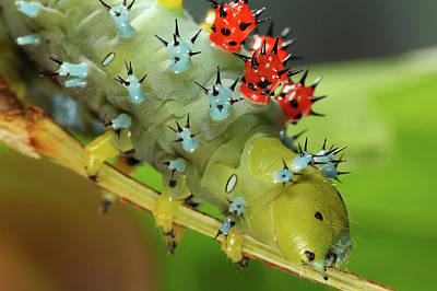 Caterpillar Photograph - Cecropia Moth Caterpillar by Tomasz Litwin