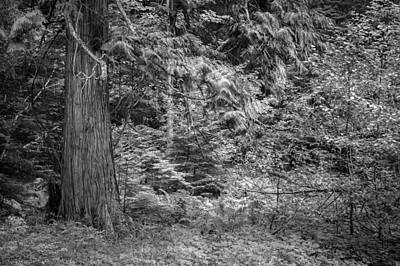 Photograph - Cedar Along The Trail Of Cedars Glacier National Park Bw by Rich Franco