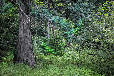 Photograph - Cedar Along The Trail Of Cedars Glacier National Park  by Rich Franco