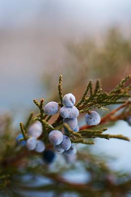Cedar Berries Art Print by Kevin Bone