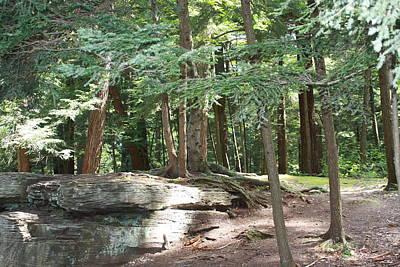 Photograph - Cedar Forest View by Lucinda VanVleck