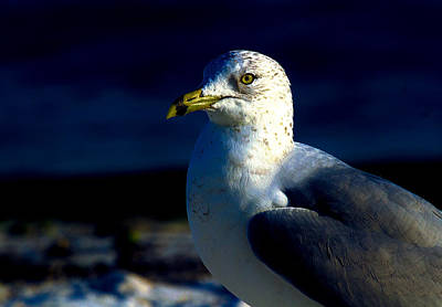 Photograph - Cedar Gull by Jeff Kurtz