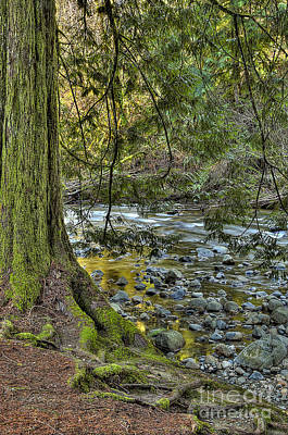 Photograph - Cedar Tree By Kanaka Creek by Sharon Talson