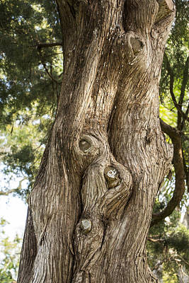 Photograph - Cedar Tree Trunk by Richard Goldman