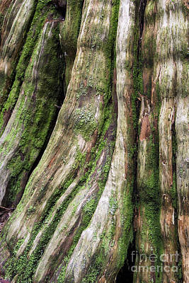 Photograph - Cedar Trunk Abstract by Sonya Lang