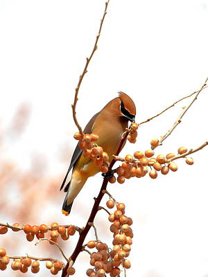 Cedar Wax Wing Art Print by Floyd Tillery