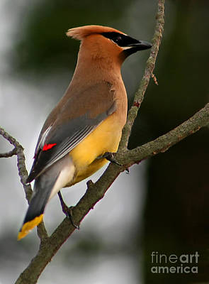 Cedar Wax Wing II Art Print by Roger Becker