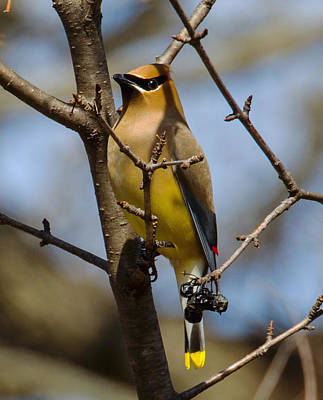 Sports Royalty-Free and Rights-Managed Images - cedar Waxing by David Tennis