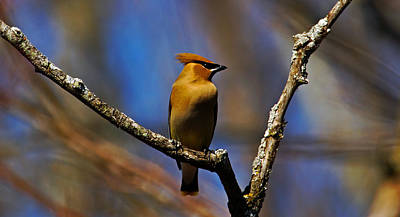 Sports Royalty-Free and Rights-Managed Images - Cedar Waxing spring again by David Tennis