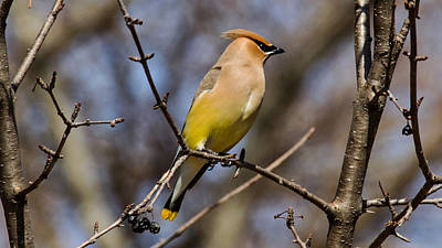 Sports Royalty-Free and Rights-Managed Images - Cedar Waxing Spring by David Tennis