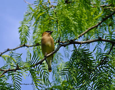 Photograph - Cedar Waxwing by Allen Sheffield