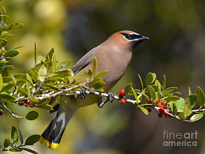 Photograph - Cedar Waxwing And Red Berries by Kathy Baccari