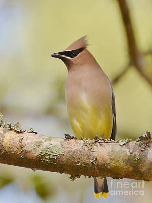Photograph - Cedar Waxwing Beauty by Kathy Baccari