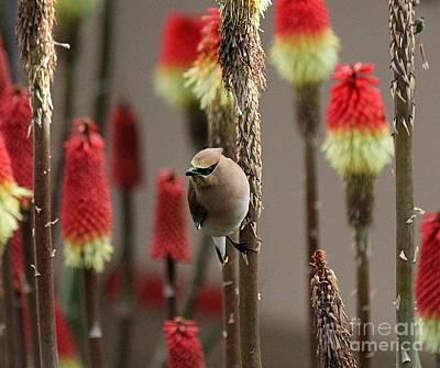Photograph - Cedar Waxwing by Erica Hanel