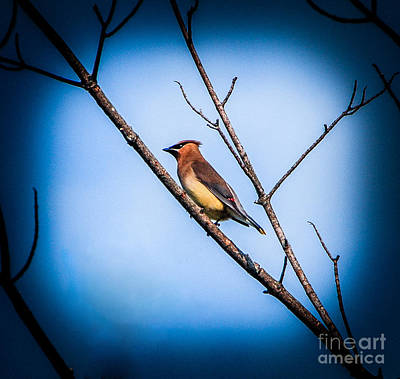 Photograph - Cedar Waxwing by Grace Grogan
