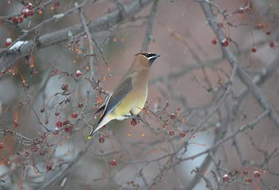 Classic Christmas Movies - Cedar Waxwing III by James Petersen