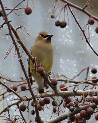 Appleton Photograph - Cedar Waxwing In The Flats by Carol Toepke