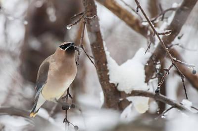 Photograph - Cedar Waxwing In Winter by Jeff Folger