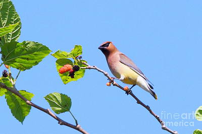 Photograph - Cedar Waxwing by Jennifer Zelik