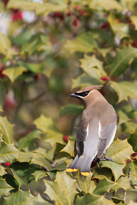 Photograph - Cedar Waxwing Looking Back by Terry DeLuco