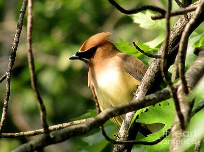 Cedar Waxwing Art Print by Marilyn Smith