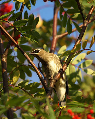 Print featuring the photograph Cedar Waxwing by James Peterson