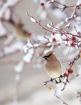 Photograph - Cedar Waxwing by Michael Chatt