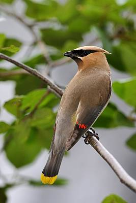 Photograph - Cedar Waxwing by Mike Farslow