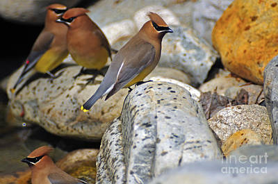 Photograph - 1157a Cedar Waxwing by NightVisions