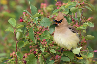 Cedar Waxwing Photograph - Cedar Waxwing On Blueberry Bush by Ken Archer