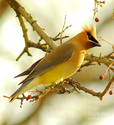 Car Window Photograph - Cedar Waxwing by Robert Frederick