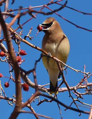 Photograph - Cedar Waxwing by Tranquil Light  Photography