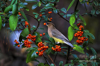 Photograph - Cedar Waxwing With Berry by Barbara Bowen