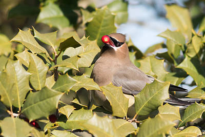 Photograph - Cedar Waxwing With Berry by Terry DeLuco