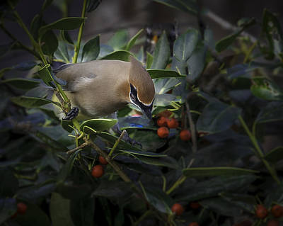 Photograph - Cedar Waxwings  2012-2 by Donald Brown