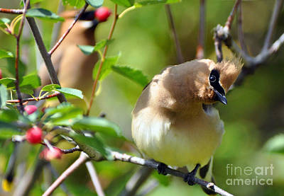 Photograph - Cedar Waxwings by Deby Dixon