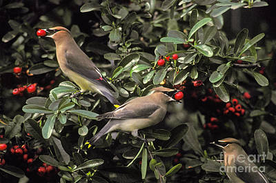 Cedar Waxwings Eating Berries Art Print by Ron Sanford