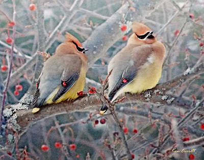 Cedar Waxwing Digital Art - Cedar Waxwings by Ken Everett